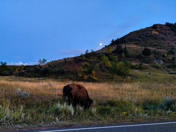 bison in twilight in theodore roosevelt national park