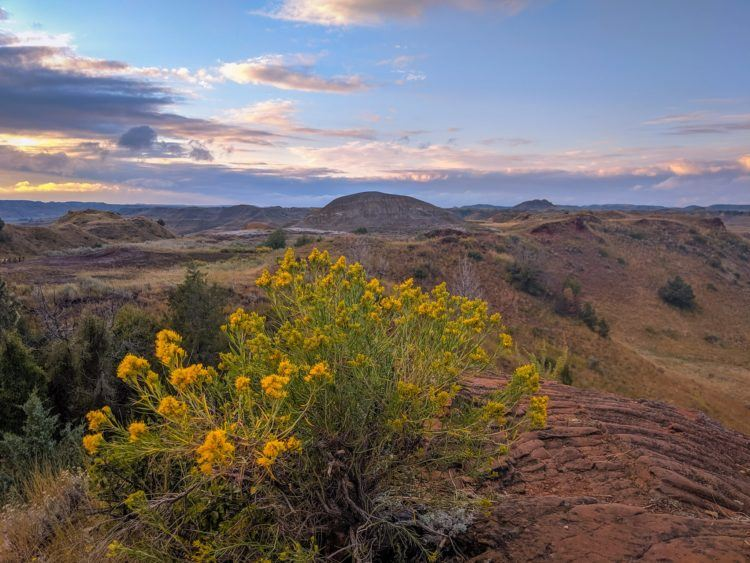 wildflowers in theodore roosevelt national park