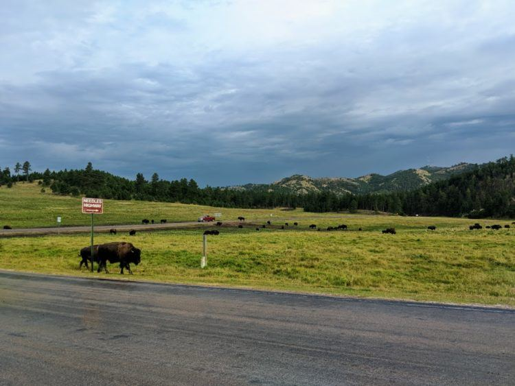 bison on wildlife loop road