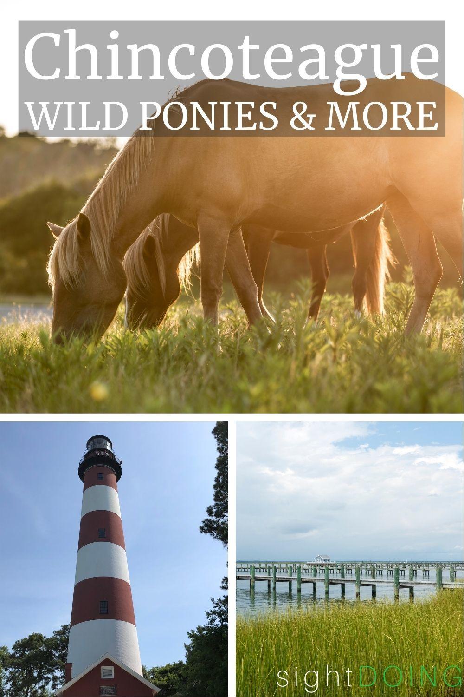 wild ponies chincoteague island