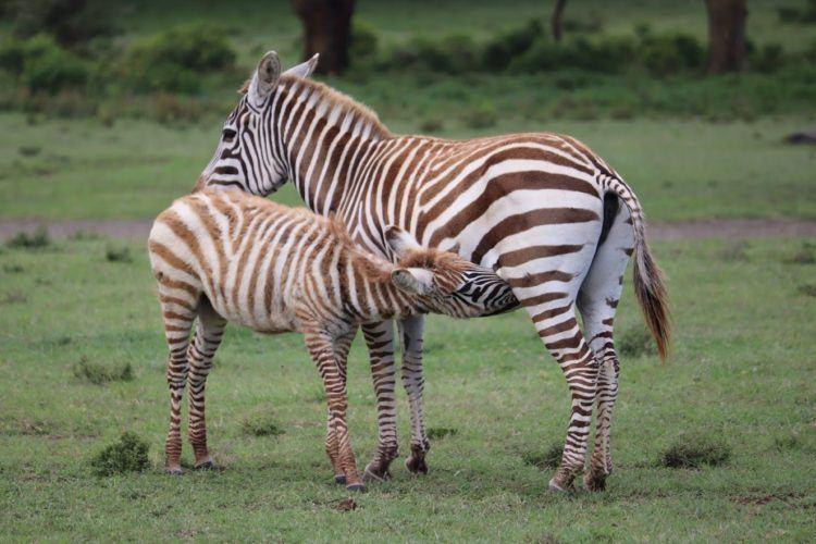 baby zebra nursing on crescent island