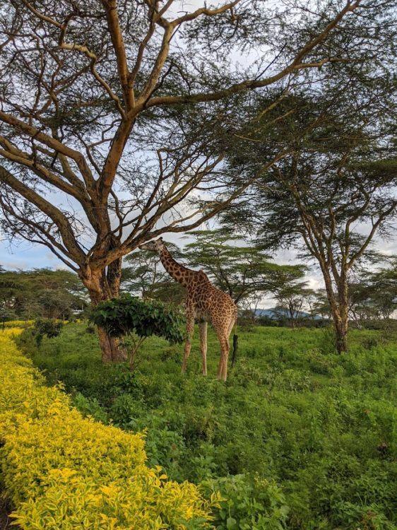giraffe eating from a tree in naivasha kenya
