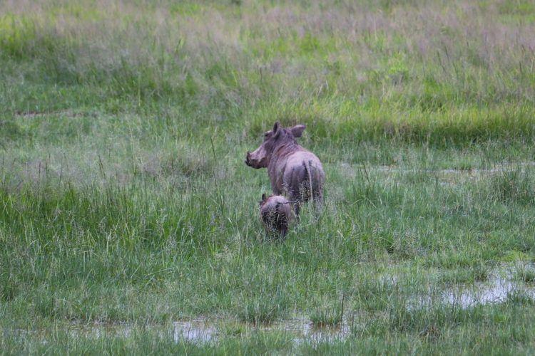 baby warthog kenya safari