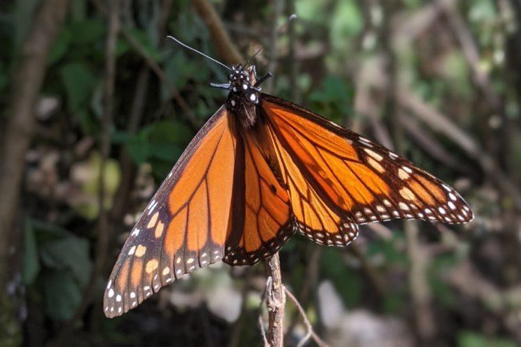 monarch butterfly in valle de bravo mexico