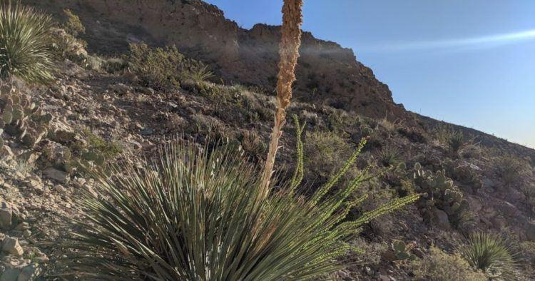 cactus in el paso