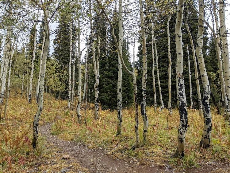 aspen trees near trail