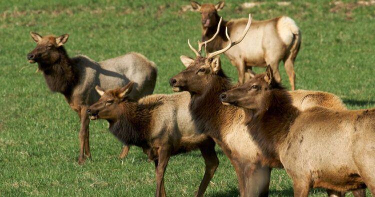 elk in arkansas field