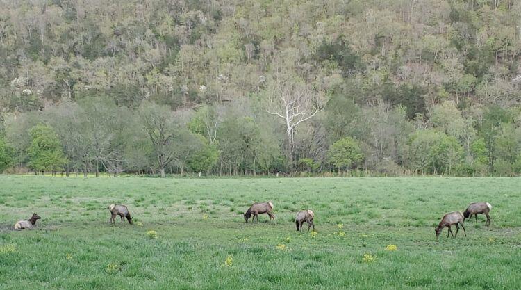 elk in ponca arkansas