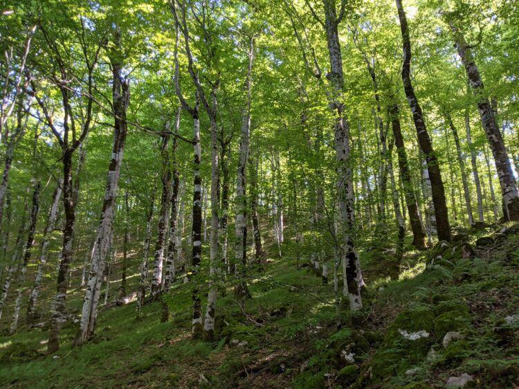 birch forest biogradska