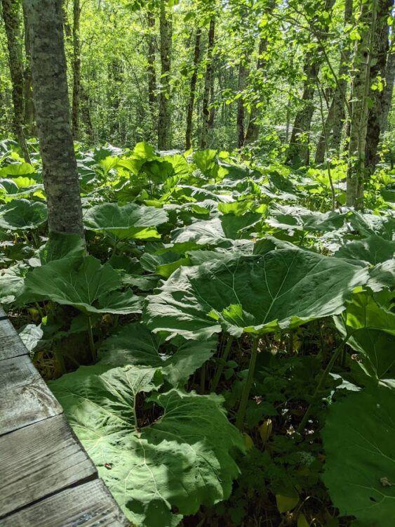 giant leaves in biogradska gora national park