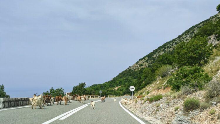 sheep on montenegro road